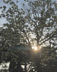 木蓮 - kukka kukka