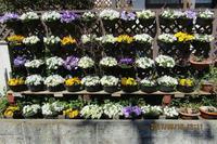ウォールガーデンのパンジーほぼ満開 wall garden in full blossom - PCオーディオ、ガーデニング、多摩川ウォーキング