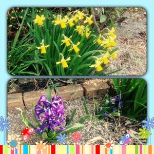 庭の春 -  ロゼラニ ブロッサムズ Blog