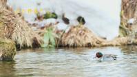 アメリカコガモ - 北の野鳥たち