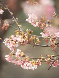 メジロ 河津桜 2月26日 3 - 風まかせ、カメラまかせ