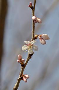 今年も桜咲くーっ! - 鱒釣りは鉄馬に乗って