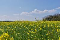 菜の花と春の雲 - いつかみたソラ
