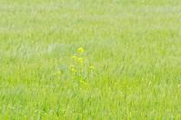 麦畑 - いつかみたソラ
