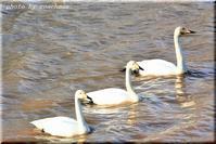 運河の白鳥 2 - 北海道photo一撮り旅