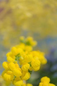 Spring yellow 2 - 気ままにお散歩