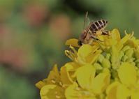 アブラナとセイヨウミツバチ - 鹿深の森