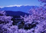 サクラの季節・高遠の桜 - いくつになってもキザ男