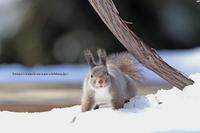 冬毛のエゾリス   - イチガンの花道