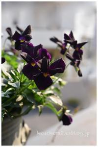 黒いビオラはとてもシックで優美。 - 小さな庭 2