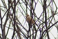 鷲別川 / シメなど - Bird-Watching Journal