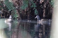 ミサゴが活動的 - 野鳥写真日記 自分用アーカイブズ