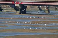 近所にもツバメ - 野鳥写真日記 自分用アーカイブズ