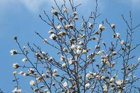 ■ 春の木   17.3.21   (コブシ、ハクモクレン、ネコヤナギ) - 舞岡公園の自然2