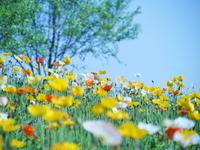 ポピー花の丘 - photomo