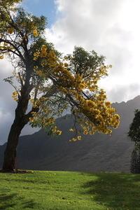 ハワイの花ある風景⑤ Golden Trumpet Tree - クラシノカタチ