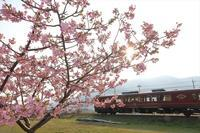 河津桜 - 今日も丹後鉄道