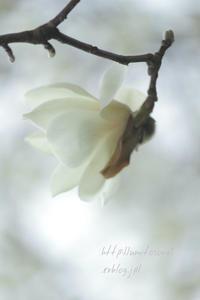 白木蓮が咲く - 一瞬をみつめて