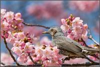 新宿御苑-その②・ヒヨドリ桜・居眠りゴイサギなど - ココカメラ【であいの・き】