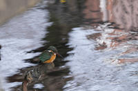カワセミのいる川 - 身近な動物・植物