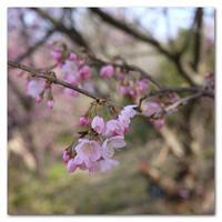 #2136 春めき桜 - at the port
