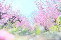 花桃の丘 - カメラをもってふらふらと