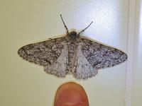 シモフリトゲエダシャク・ホソウスバフユシャク - 一寸の虫にも五分の魂