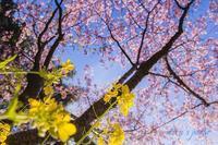 サクラ開花宣言。 - MIRU'S PHOTO