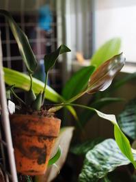 デンドロキラム・プロピンキューム - Blog: Living Tropically