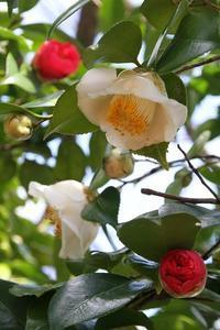 今日の庭 白椿と四海波椿 - シェーンの散歩道