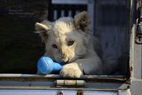 2017.3.20 東北サファリパーク☆ホワイトライオンのセラム君、元気でねの会【White lion】<その3> - 青空に浮かぶ月を眺めながら