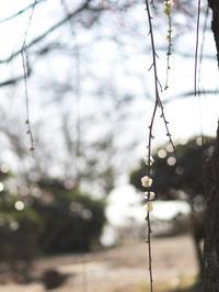 種松山梅園 3月12日 - 風まかせ、カメラまかせ