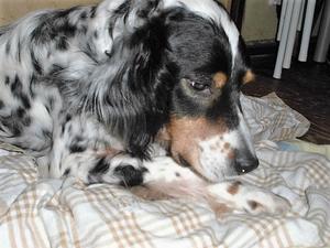 シモン&マーブル・保護犬ファッションショーに出場します!会いに来てね!! - 子豚たちの反乱    ~保護犬達の幸せさがし~