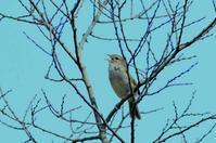 春を呼ぶ - ひげ親爺の探鳥日記