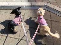 17年3月22日 ひるんぽ&いちごちゃん♪ - 旅行犬 さくら 桃子 あんず 日記