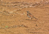 野火止の冬鳥ツグミ Dusky thrush - 素人写人 雑草フォト爺のブログ