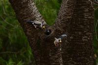 イカル 03月13日 - 旧サンヨン(Nikon 300mm f/4D)野鳥撮影放浪記