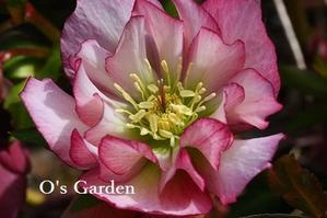 明日よりオープンデーです (^^♪ - O's garden へ ようこそ~ ♪