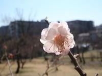 梅 - 常盤公園ブログ