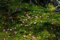 有楽椿散る等持院 - 花景色-K.W.C. PhotoBlog