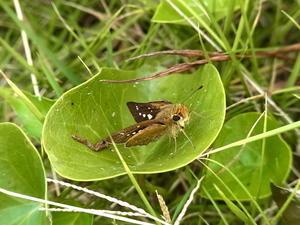 諏訪之瀬島のイチモンジセセリ - 虫、とったり、とったり。