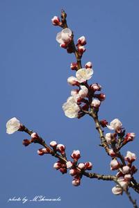 春のアカゲラ - 雅郎の花鳥風月