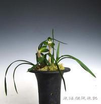 正体不明の中国蘭                         No.1770 - 東洋蘭風来記奥部屋