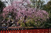 車折神社の枝垂れ梅 - たんぶーらんの戯言