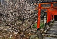 京の超早咲き桜を求めて(6)平野神社の桃桜 - たんぶーらんの戯言