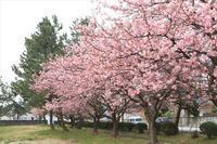 春はひよちゃん!&或いはつぐみん! - ~何でも揃う~本和堂雑多店(写真館)
