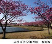 三丁目の公園の桜 見頃です - 比企の郷 月輪紀行