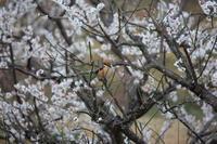 今日の鳥さん 170321 - 万願寺通信