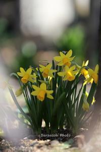 春ですね~ - バラと遊ぶ庭