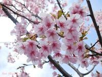 早咲きの桜  2017年3月22日 - LLC徒然